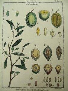 Lamarck Antique Print Botanical Engraving Mirobalanus 1700s Plate 849
