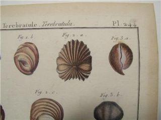 Antique Shell Print Lamarck Coquille Bivalve Engraving
