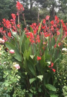 Red Canna Lily Rhizome Bulb of The Highest Quality Ready to Plant