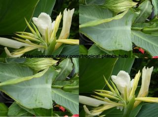 Bulbs Canna Lily White Green Leaf Tropical Plant