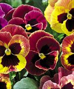 Annual Mammoth Sangria Punch Pansy Seeds Extra Large