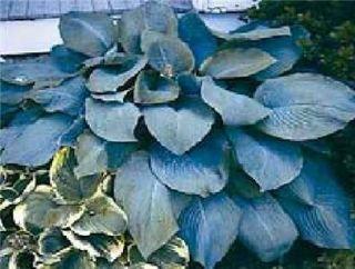 Hosta, Blue MammothHUGE Blue Hosta Live plant