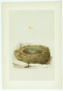 1875 Antique Morris Bird Nest Print 65 Grey Wagtail