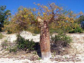 Adansonia Rubrostipa Fony Baobab Fresh Seeds