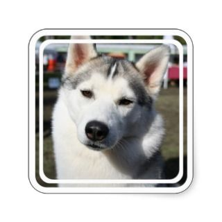 Siberian Husky Dog Square Sticker