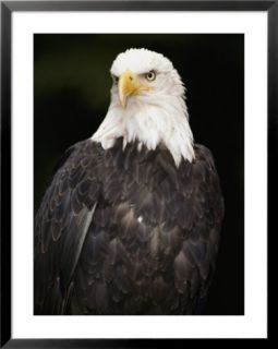 Portrait of an American bald eagle Pre made Frame