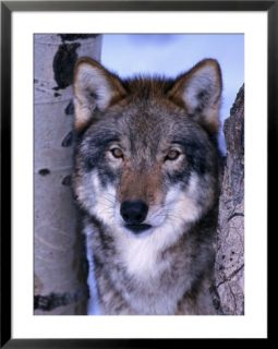 Gray wolf standing between trees, canis lupus Pre made Frame