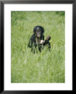 A young pygmy chimpanzee sits in the tall grass Pre made Frame