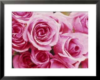 Rosa Jacaranda (Hybrid Tea Rose) Pre made Frame