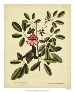 Catesby Bahama Sparrow, Pl. T37 Print by Mark Catesby