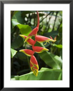 Heliconia Flower, Costa Rica, Central America Pre made Frame