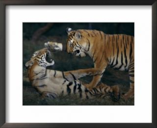 Two Bengal tiger cubs wrestle inside their enclosure Pre made Frame