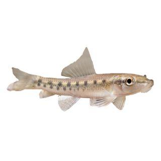 Algae Eater   Fish   Live Pet
