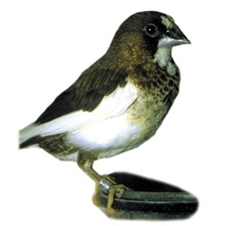 Society Finch   Bird   Live Pet