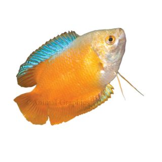 Tropical fish information on all colorful tropical for Colorful freshwater fish for sale