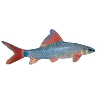 pictus catfish tropical semi aggressive fish