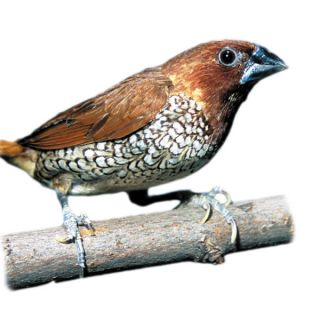 Spice Finch   Bird   Live Pet