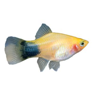 Mickey Mouse Platy   Tropical   Fish