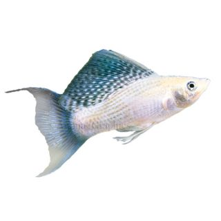 Silver Lyretail Molly   Tropical   Fish