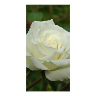 White Hybrid Tea Mrs. Herbert Stevens Rose Picture Card