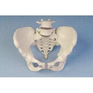Anatomie Modell   Künstliche Skelette und Modelle   Wirbelsäulen
