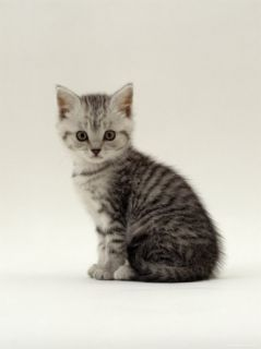 Domestic Cat, 6 Week, Silver Tabby Male Kitten Posters by Jane Burton