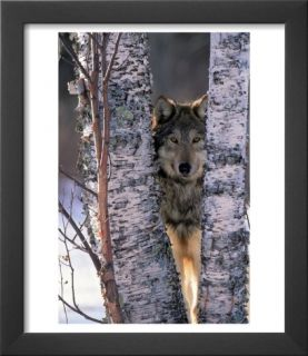 Gray Wolf Near Birch Tree Trunks, Canis Lupus, MN Art by William Ervin