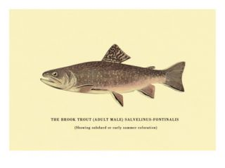 The Brook Trout, Showing Subdued or Early Summer Coloration Wall Decal by H.h. Leonard