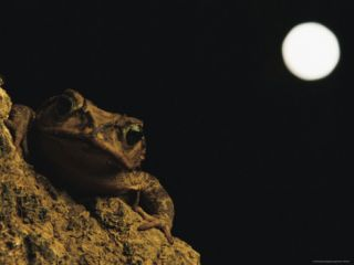 A Toad Clings to a Rock in the Light of an Almost Full Moon Photographic Print by Steve Winter