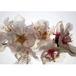 Kirschblüte Blume weiß Foto 360 cm x 270 cm: Baumarkt
