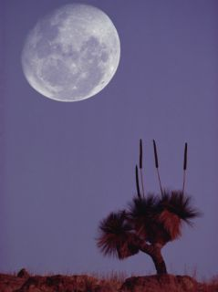 Full Moon over Grass Tree (Xanthorrhoea Preissii) Flinders Range National Park, Australia Photographic Print by Gerry Ellis