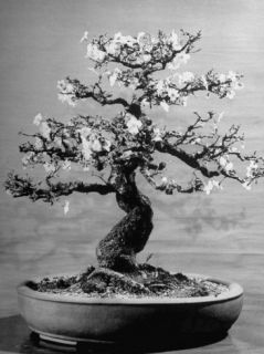 100 Year Old Bonsai Cherry Tree in Collection of Keibun Tanaka Premium Photographic Print