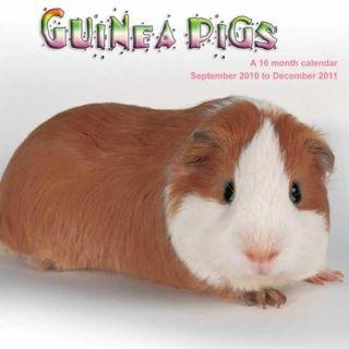 Guinea Pigs 2011 Wall Calendar