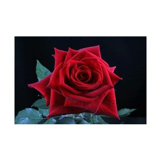 100 Stems 19.7 inch (50 cm) Bright Red Rose
