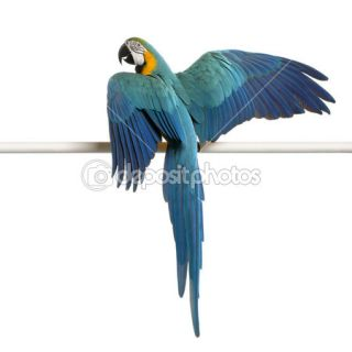 Rear view of Blue and Yellow Macaw, Ara Ararauna, perched and flapping