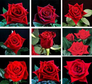 Growers Choice 40 cm Red Roses (125 Stems)