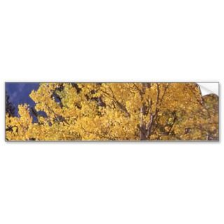 Fall aspen tree bumpersticker bumper sticker